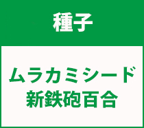 村上シート新鉄砲百合